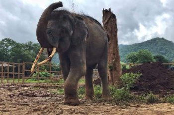 EXCLUSIVE: Injured Elephant Brought to Light by National Geographic Rescued in Thailand